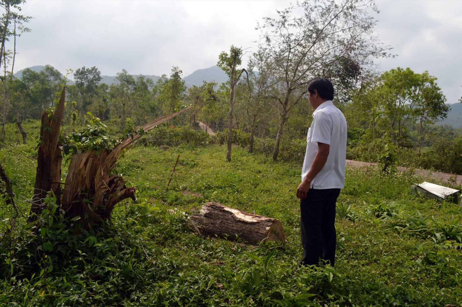 Hầu hết cây ngã đổ trong khu vực di tích Mỹ Sơn là keo lá tràm