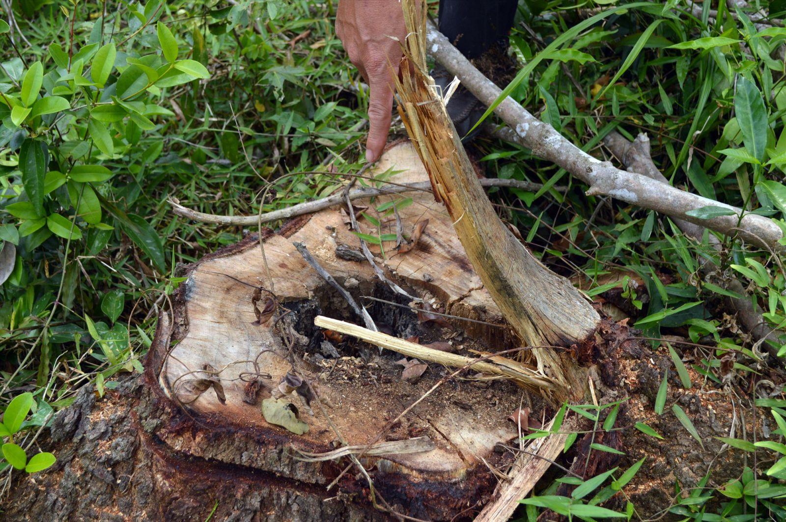 Do bị bỏ hoang không chăm sóc nhiều cây keo trong khu di tịch Mỹ Sơn đã bị mục ruỗng bên trong bắt buộc phải cưa hạ, tránh gây nguy hiểm cho du khách